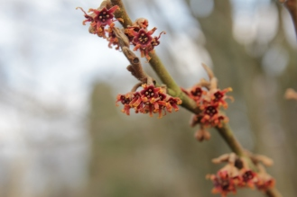 hamaelis vernalis dora county in arkansaw.JPG