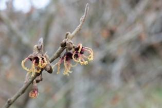 hamamelis japonica rubra (2).JPG