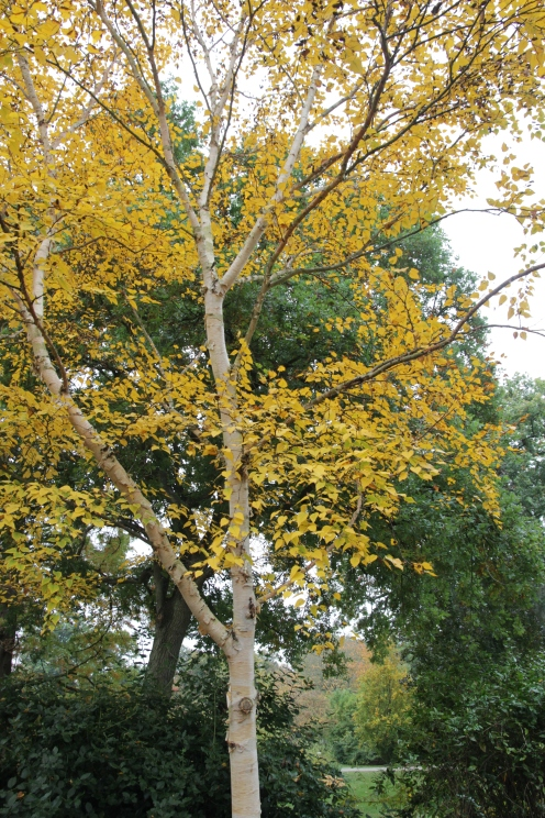 betula-ermanii-grayswood-ghost-2