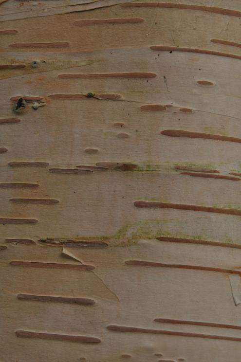 betula-ermanii-pubescens1