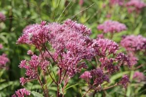 eupatorium purpureum 'purple bush'