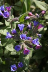 pulmonaria beths blue