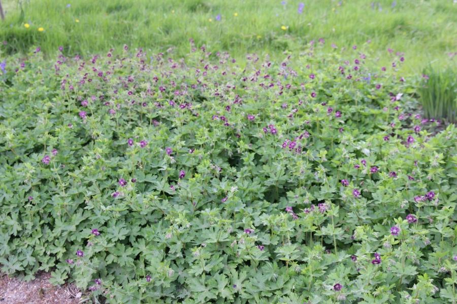geranium phaeum.JPG
