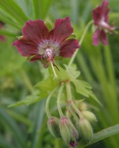phaeum rose madder