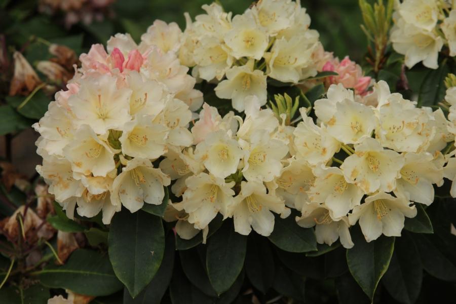 Rhododendron golden torch1.JPG