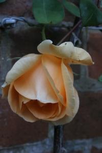 rosa lady hillington (2)