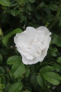 rosa blanc double de combert (2)