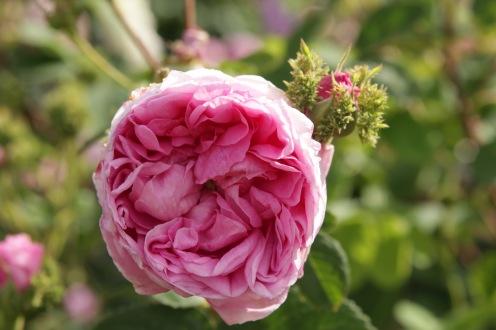 rosa cristata