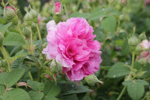 rosa empress josephine (2)