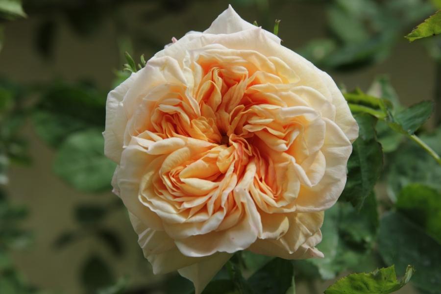 rosa gloire de dijon (3).JPG